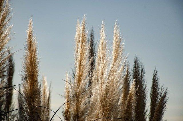 Pampasgras | Das Deko-Highlight in eurem Zuhause